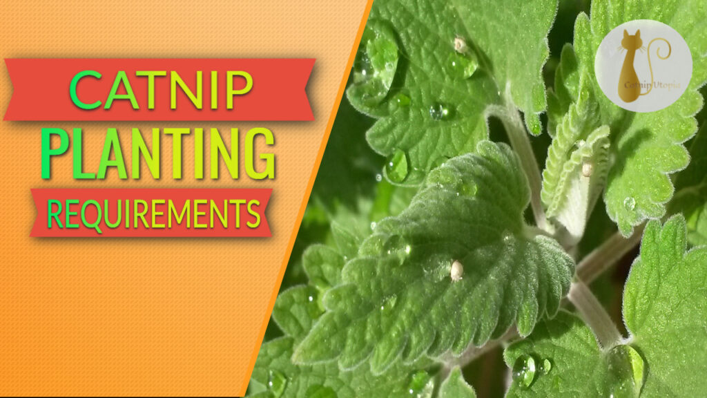 catnip planting requirements